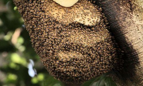 Zdjecie GAMBIA / - / rezerwat Tanji / dzikie pszczoły afrykańskie