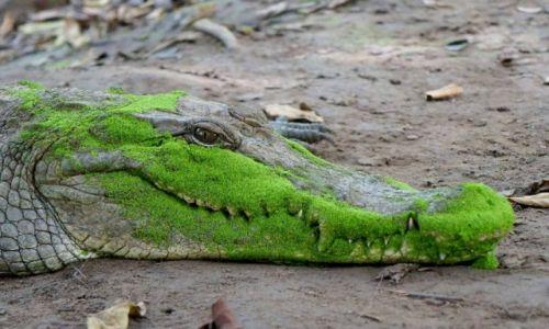 GAMBIA / Bandżul / Rezerwat krokodyli / Krokodyl w glonach