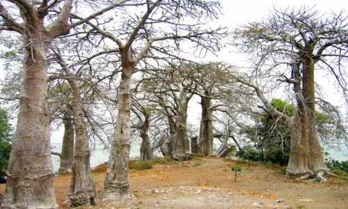 Zdjecie GAMBIA / Rzeka Gambia / Albreda / Aleja baobabów