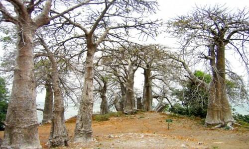 GAMBIA / Rzeka Gambia / Albreda / Aleja baobabów