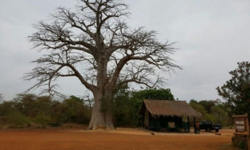 Zdjecie GAMBIA / - / Afryka  / Baobab