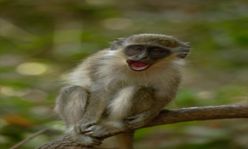 GAMBIA / Greater Banjul Area / Bijilo Forest Park / Trzeba być sobą, trzeba być sobą ... ;-)