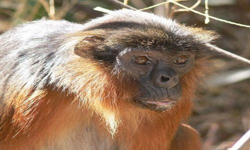 Zdjęcie GAMBIA / Serrekunda / Bijilo Forest / Przywódca stada - gereza ruda