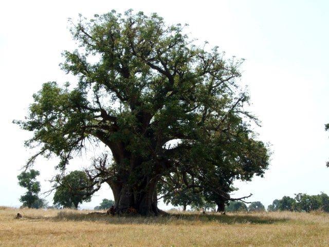 Zdjęcia: Gdzieś w Ghanie, Bolgatanga, W cieniu baobabu, GHANA