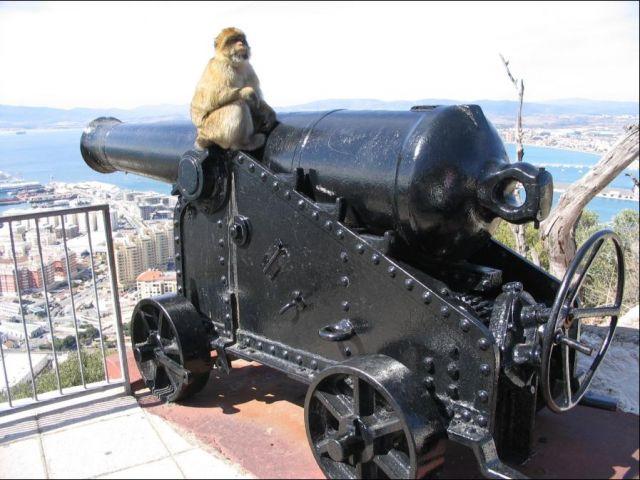 Zdjęcia: Gibraltar, Małpka armatnia, GIBRALTAR