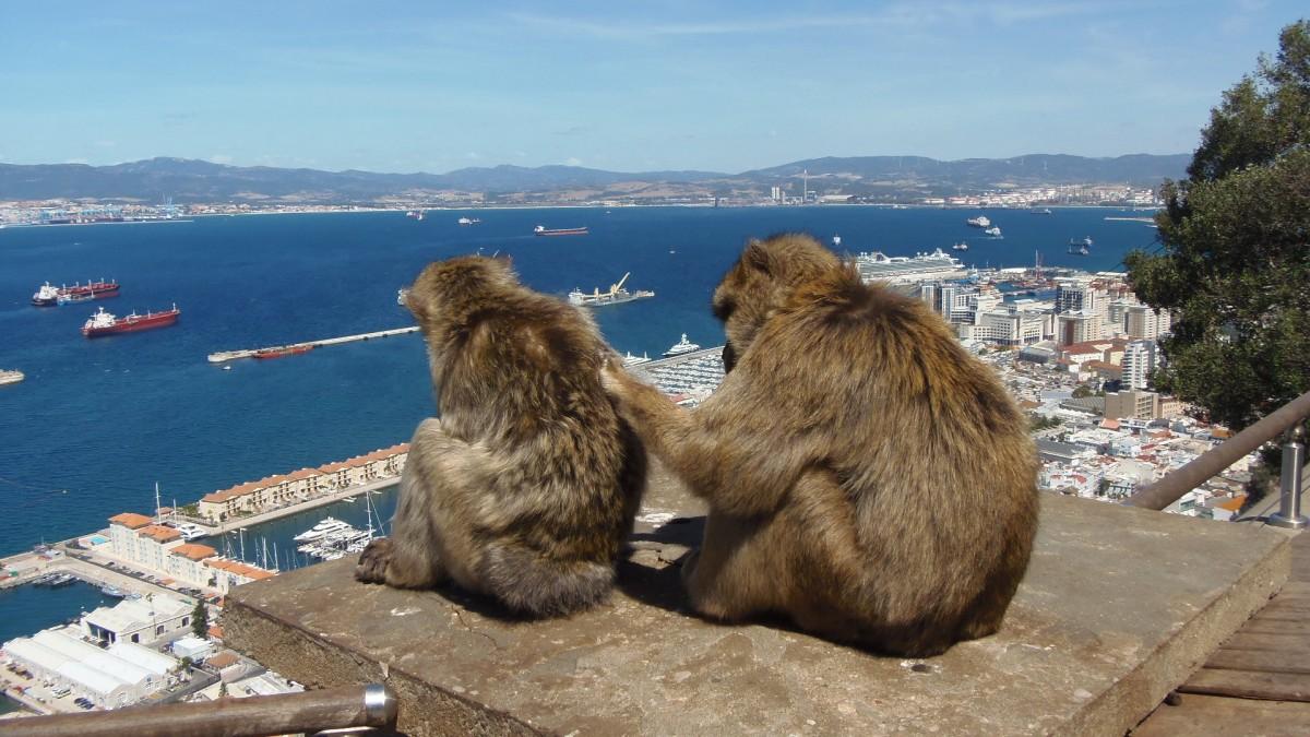 Zdjęcia: Skała Gibraltarska, Makaku, GIBRALTAR