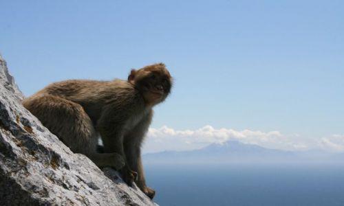 Zdjęcie GIBRALTAR / - / Skała Gibraltarska / Zadumany Magot