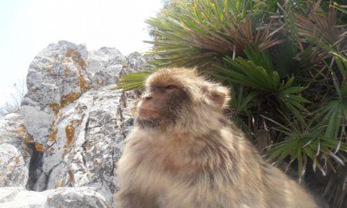 Zdjęcie GIBRALTAR / - / szczyt Gibraltaru / pogrążony w zadumie