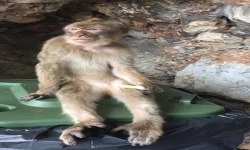 Zdjecie GIBRALTAR / Gibraltar / Wejście do Jaskinii na Gibraltarze  / Małpka na śmietniku