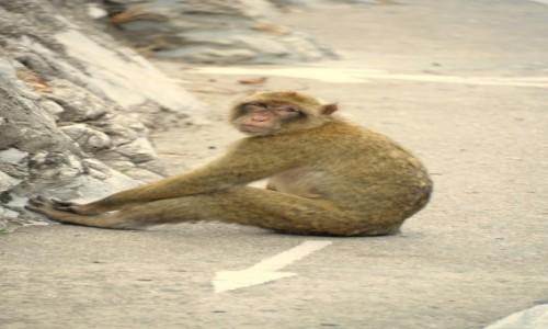 Zdjecie GIBRALTAR / Gibraltar / Skała Gibraltarska / Małpka ze strzałką