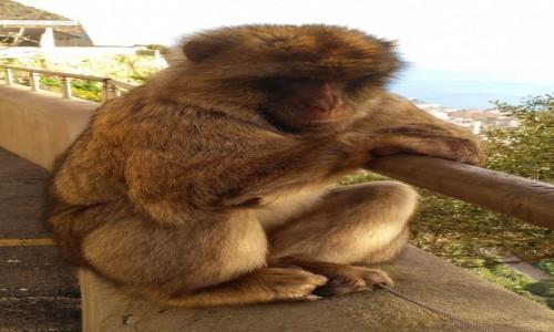 Zdjecie GIBRALTAR / Skała Gibraltarska / . / Zmartwiony małpiszon