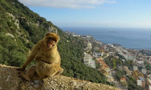 GIBRALTAR / Skała Gibraltarska / . / Radość małpiszona