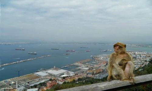 Zdjecie GIBRALTAR / Półwysep Iberyjski. / Gibraltar. / Makak (Magot) Gibraltarski.