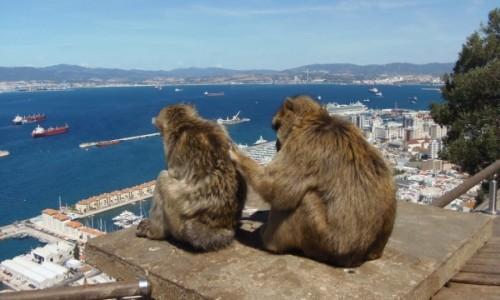 Zdjecie GIBRALTAR / - / Skała Gibraltarska / Makaku