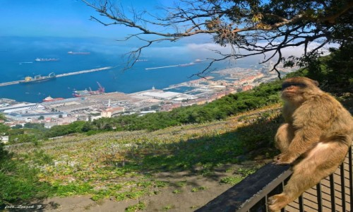 Zdjecie GIBRALTAR / Gibraltar. / Gibraltar, / Magot gibraltarski (Makak gibraltarski)