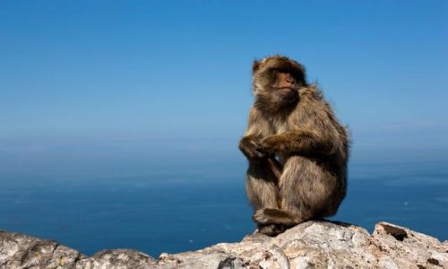 Zdjęcie GIBRALTAR / brak / Gibraltar / Malpka