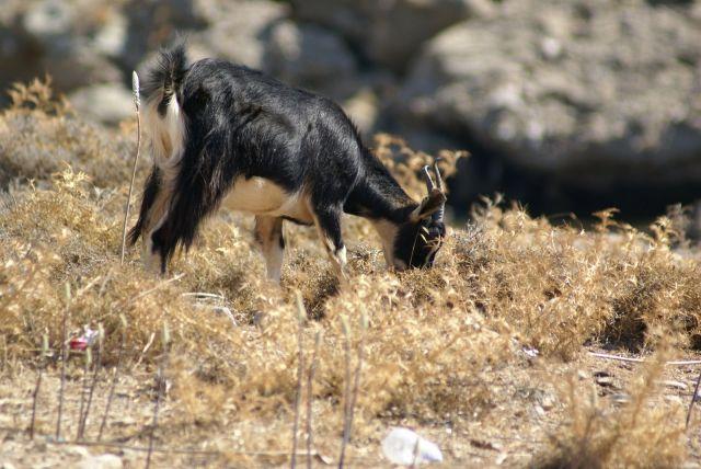 Zdjęcia: Rodos, koza, GRECJA