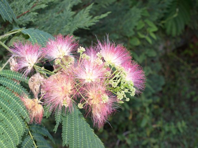 Zdj�cia: Pefkochori, Chalkidiki, puchate kwiatki, GRECJA