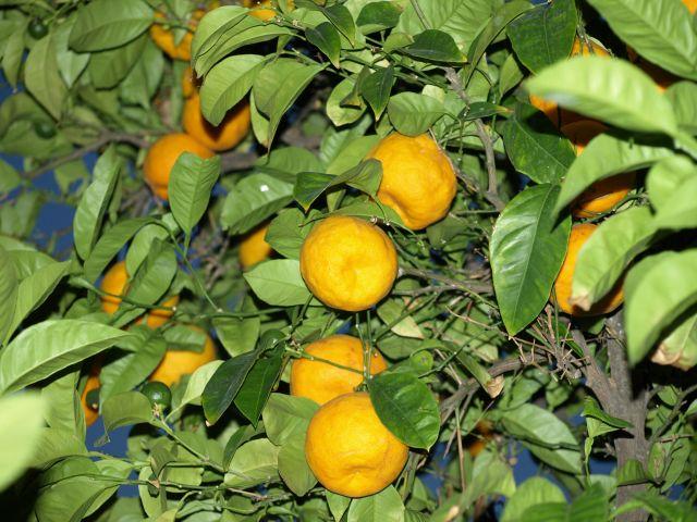 Zdjęcia: Pefkochori, Chalkidiki, owoce 1, GRECJA