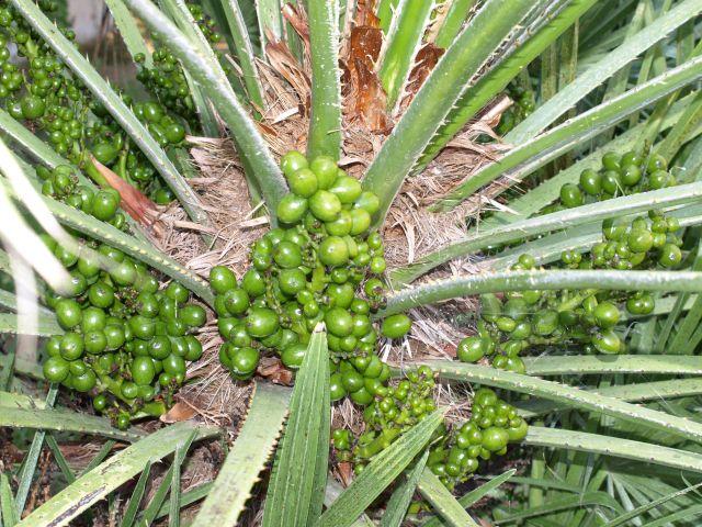 Zdj�cia: Pefkochori, Chalkidiki, owoce 2, GRECJA