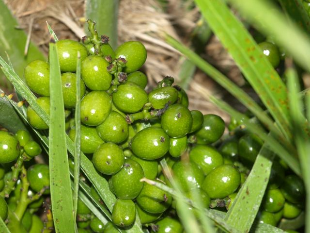 Zdjęcia: Pefkochori, Chalkidiki, owoce 3, GRECJA