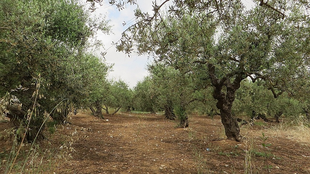 Zdjęcia: Mochos, Kreta, drzewa oliwne, GRECJA