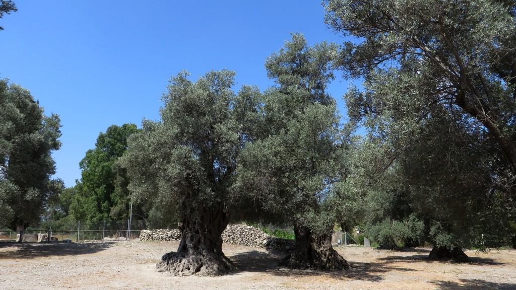 Zdjęcia: Gortyna, Kreta, stare drzewa oliwne, GRECJA