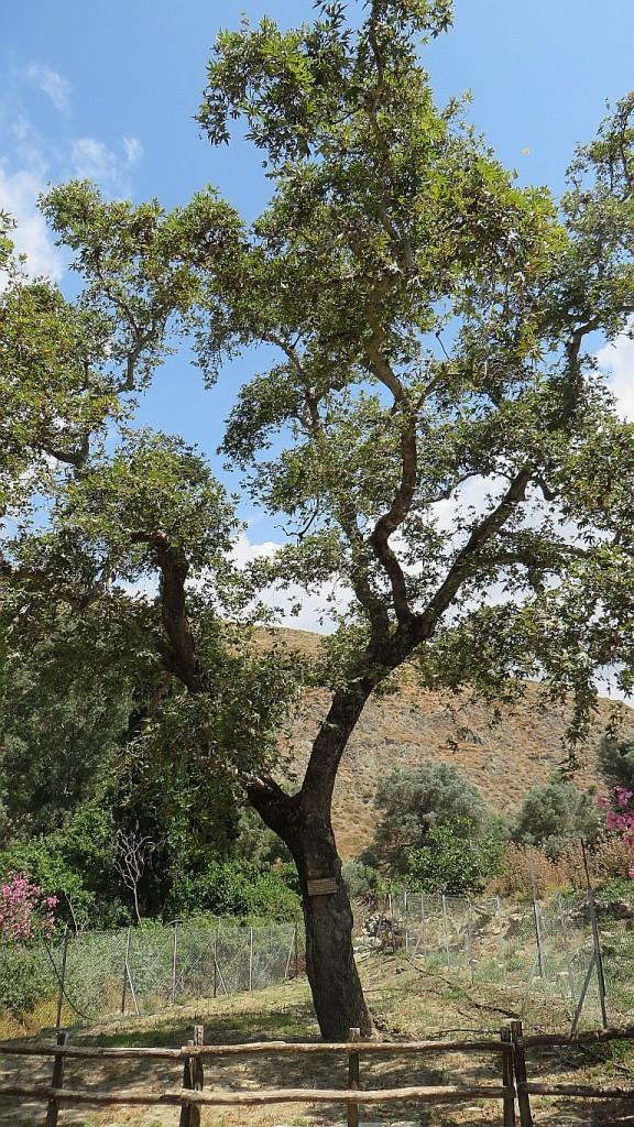 Zdjęcia: Gortyna, Kreta, święte drzewo oliwne, GRECJA