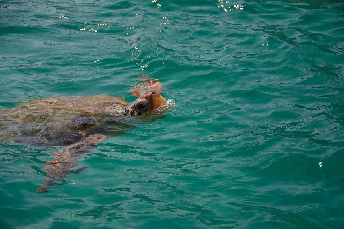 Zdjęcia: Zatoka Laganas, Wyspy Jońskie - Zakynthos, Caretta caretta (żółw morski), GRECJA