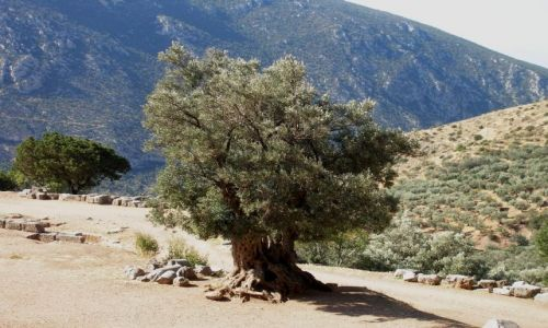 Zdjęcie GRECJA / - / Delfy / Najstarsze drzewo oliwne w Delfach