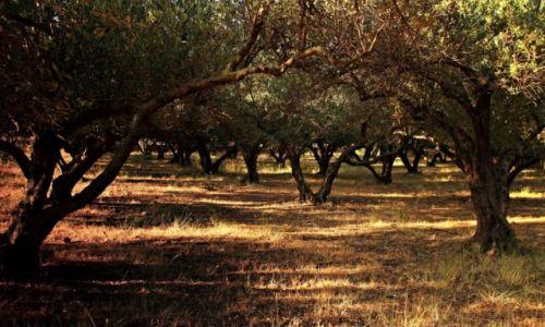 Zdjecie GRECJA / Kreta Zach. / Tavronitis.-Region Chania / Bujne gaje oliwne.