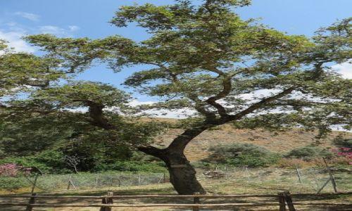 Zdjecie GRECJA / Kreta / Gortyna / święte drzewo oliwne