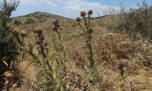 Zdjęcie GRECJA / Kreta / okolice klasztoru Preveli / kreteńska flora