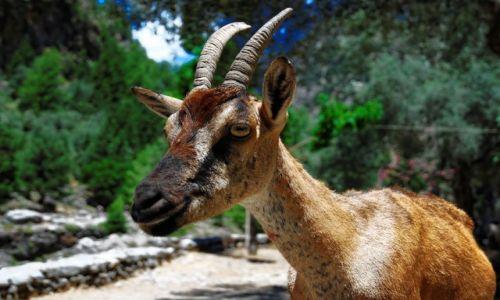Zdjęcie GRECJA / Kreta / Wąwóz Samaria / Koza kri-kri