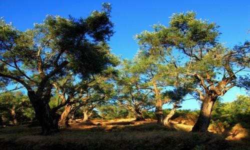 Zdjęcie GRECJA / Korfu / Perulades / Gaj oliwny