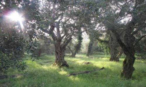 Zdjecie GRECJA / Korfu / Po�noc / oliwkowe czary: