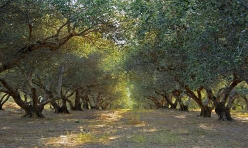 Zdjecie GRECJA / KRETA / KAVROS / gaj oliwny