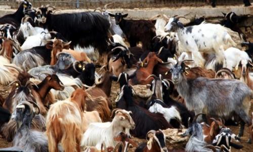 Zdjęcie GRECJA / Korfu / Pantokrator / Stado kóz w upalny dzień, pod zadaszeniem