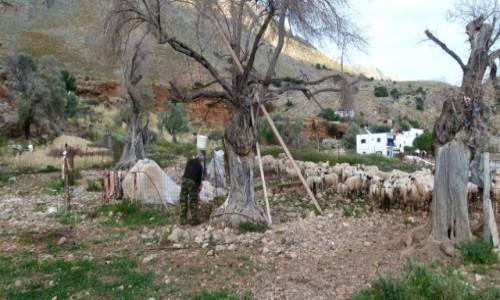 GRECJA / Kreta / Lutro / oprawianie jagniąt