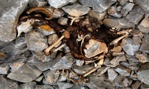 Zdjecie GRECJA / Kreta / okolice Lutro / (u)padła koza w