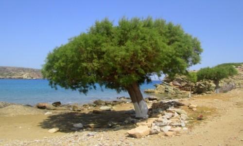 Zdjęcie GRECJA / Kreta Wschodnia / okolice Tenda Bay / Samotne drzewo