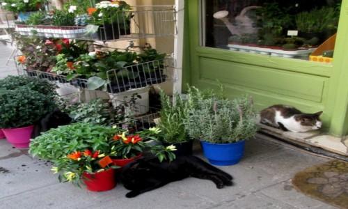Zdjecie GRECJA / Epir / Preveza / Koty ogrodnika