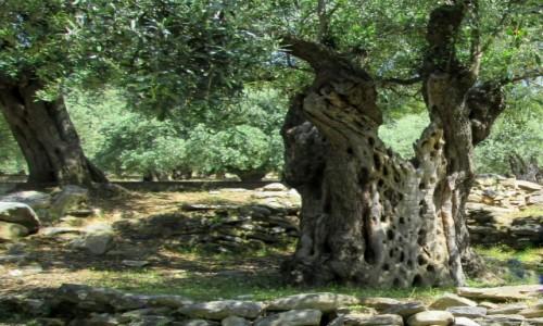 Zdjecie GRECJA / Thassos / okolice Maries / Stary oliwny gaj