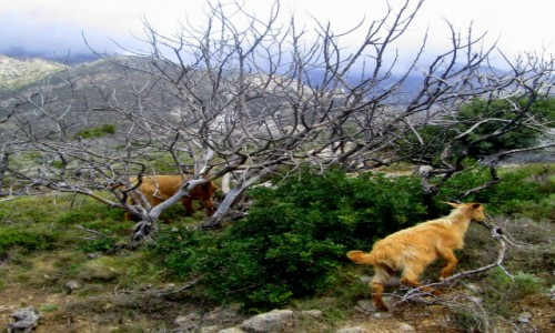 GRECJA / Kreta / okolice Elafonisi / * Dzi(kózki)