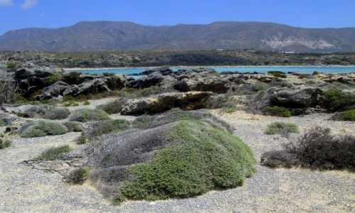 GRECJA / Kreta / Elafonisi / * Roślinność Wyspy Danieli