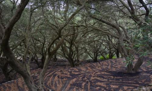 Zdjecie GRECJA / Wyspy Jońskie - Korfu / drzewa oliwne u stóp twierdzy Angelokastro / w oliwnym gąszczu