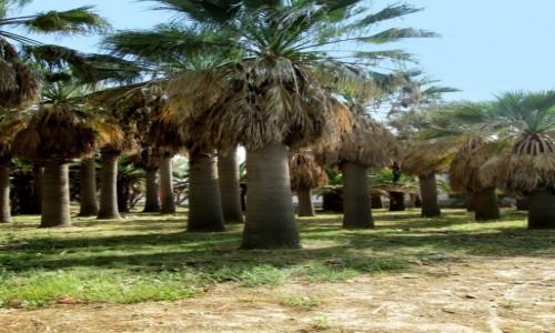 Zdjecie GRECJA / Kreta / Agia Marina / Palmowy gaj