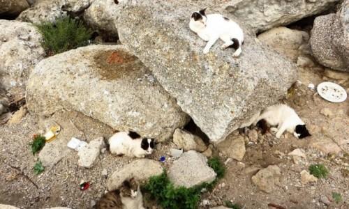 Zdjecie GRECJA / Archipelag Dodekanez / Wyspa Rodos - Rodos / rodyjskie koty