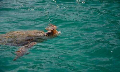 Zdjecie GRECJA / Wyspy Jońskie - Zakynthos / Zatoka Laganas / Caretta caretta (żółw morski)