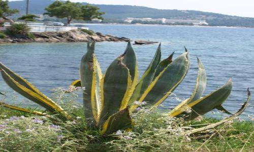 Zdjęcie GRECJA / Chalkidiki / sithonia / taki sobie kaktusowaty
